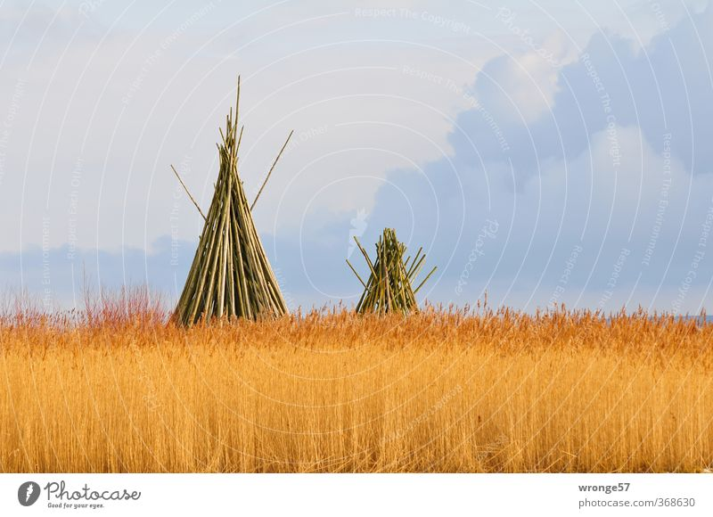 Tipis from Darss Plant Clouds Beautiful weather Agricultural crop Wild plant Common Reed Marsh grass Coast Boddenlandscape NP Brown Multicoloured Gray Wood