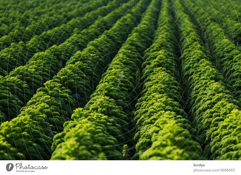 One kale field, rows of ripe kale, filling the format Kale Vegetable Kale field Agriculture Cabbage vegetable gardening regional products Fresh Healthy Eating