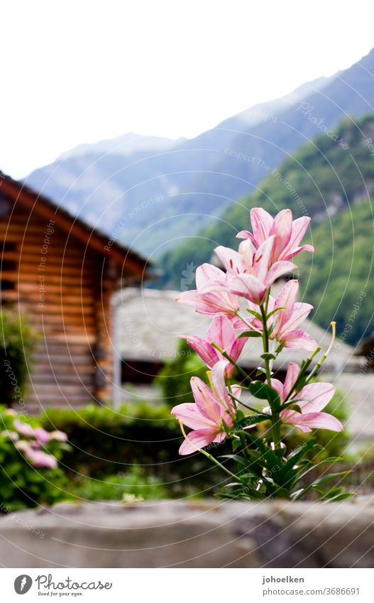 Lily in front of an alpine panorama Lily blossom Wooden hut Alps Mountain flowers Exotic exotic plants green Pink Deserted Copy Space top bleed Blossoming