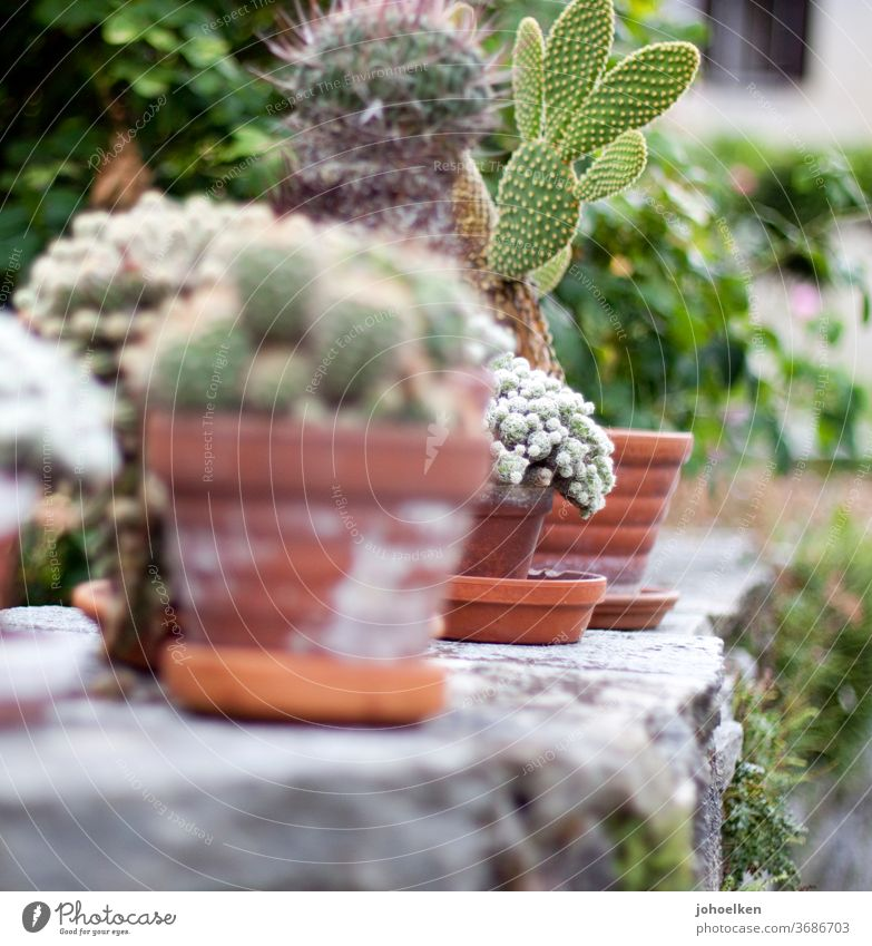 Cacti in terracotta pots on stone wall Cactus cacti Flowerpot dry stone wall Moss Cactus fig okker green Gray exotic plants Exotic fond of Pot plant