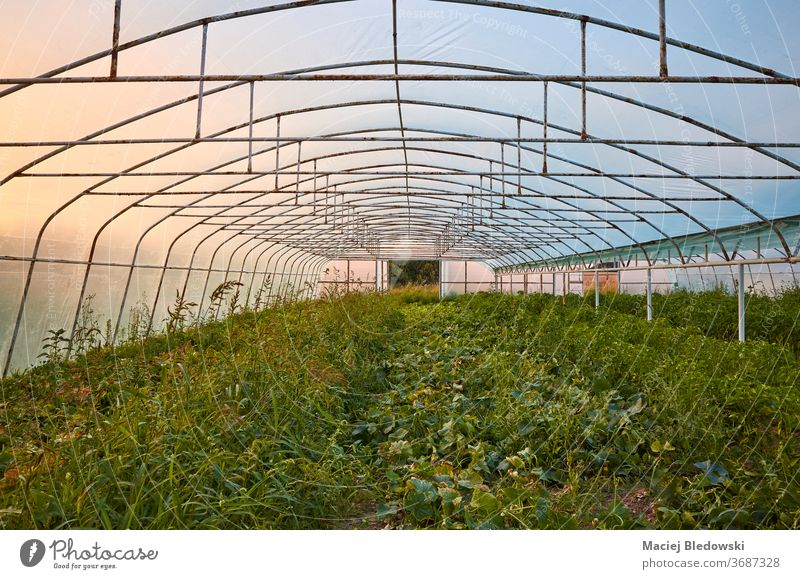 An old greenhouse interior at sunset. horticulture nature agriculture industry plant vegetable organic plastic sunrise inside crop cultivation rural growth farm