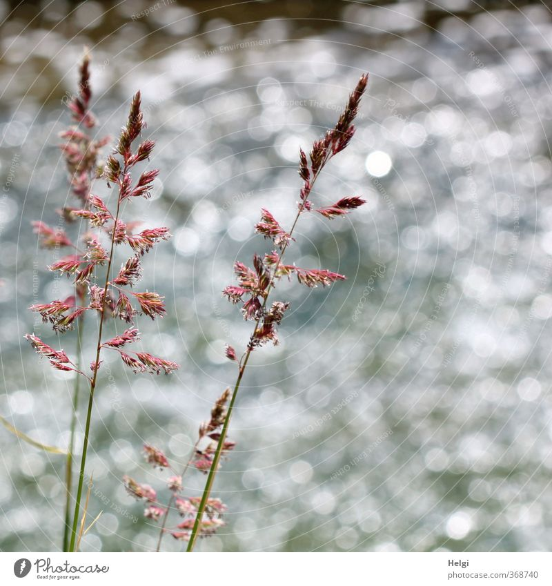 riverine Environment Nature Plant Summer Beautiful weather Grass Wild plant River bank Blossoming Glittering Growth Esthetic Exceptional Simple Long Natural