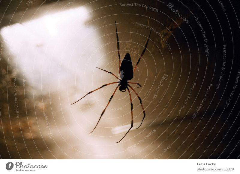 Fie Spider Spider's web Creepy Cellar Dark Transport Nephila creep disgust sb.