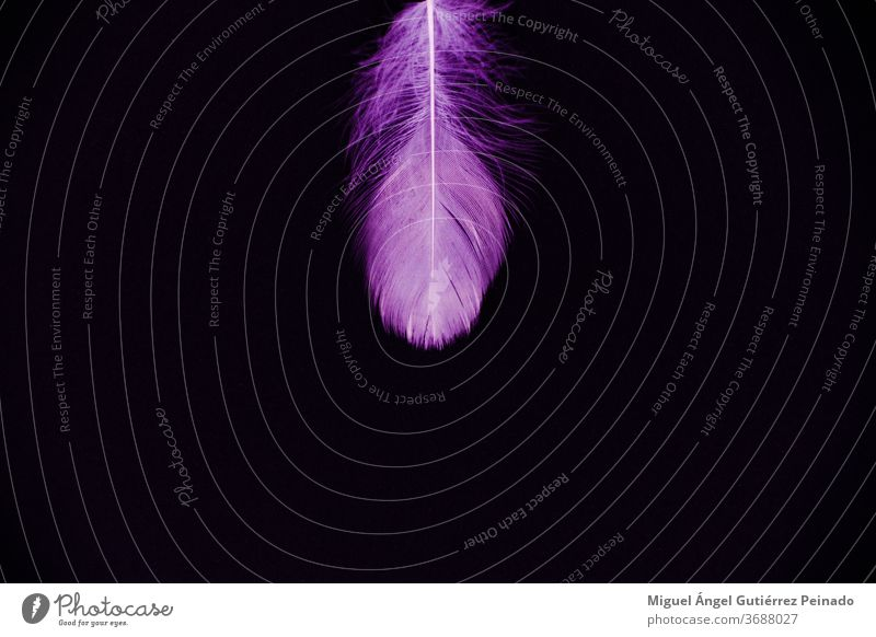 Purple feather isolated on a black background - perfect for wallpaper Feather Isolated Nature Colour photo Bird Pink Wallpaper Beautiful Conceptual design