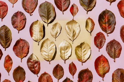 Red autumn aronia leaves arranged on pastel pink background fall foliage bright red leaf golden seasonal knolling Aronia arrangement botanical top view