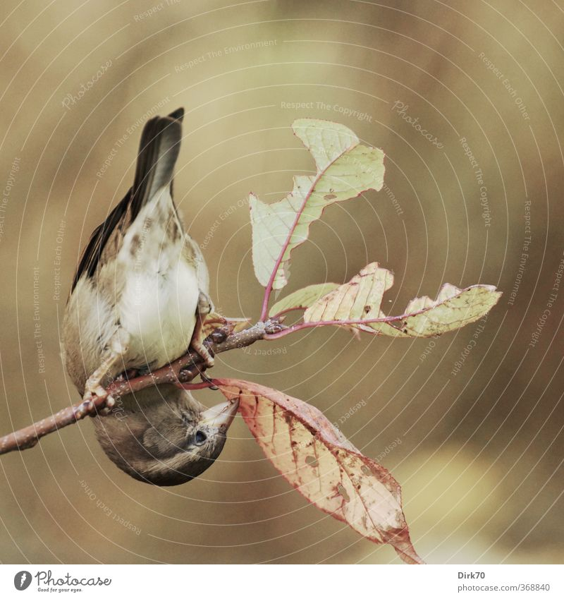 branch performer Eating Autumn Plant Bushes Leaf Twig Garden Animal Wild animal Bird Sparrow Passerine bird 1 To feed Hang Hunting Brown Yellow Gray Green Red