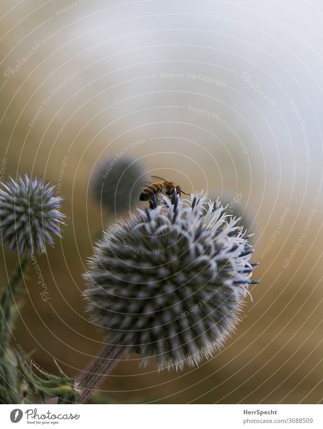 Thistle flower with bee Nature Bee Thistle blossom Macro (Extreme close-up) Plant Blossom Animal Deserted Close-up Shallow depth of field Copy Space top Insect