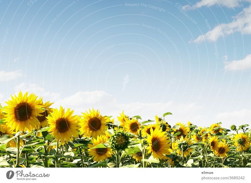 Sunflower field and blue sky with decorative clouds and lots of text space Sky blue Plant Bee food Field fair weather cloud flowers Beauty & Beauty Yellow