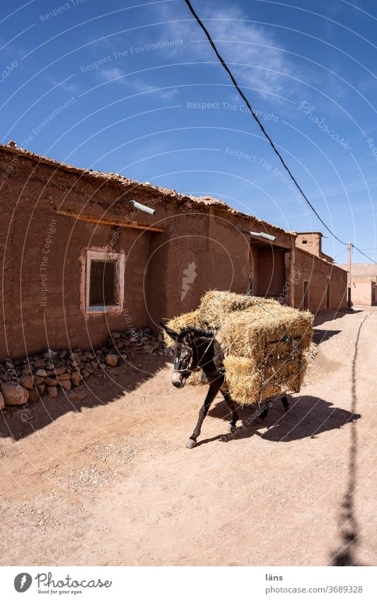 Transport of goods Donkey Morocco Bale of straw Straw Hay bale Harvest Agriculture Animal Street logistics transport of goods Exterior shot Place