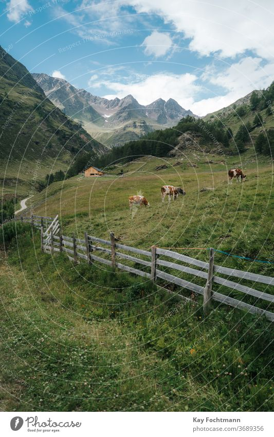 Herd of cows resting on farmland surrounded by the Dolomite mountains agricultural agriculture alpine alps animal calmness cattle country countryside dairy