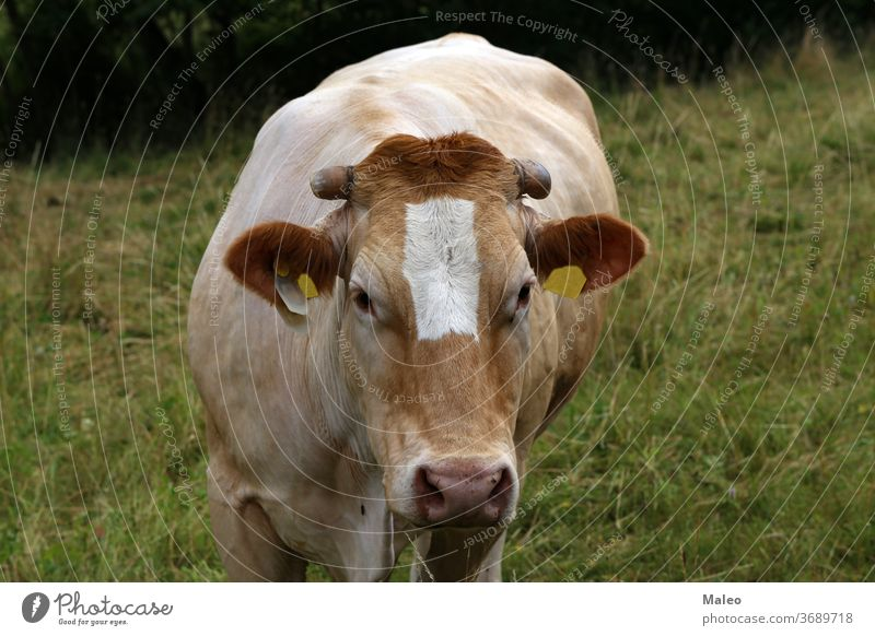 Herd of cows in the pasture in summer countryside domestic agriculture animal beast beef bovine bright cattle chain close cloud cloudy color dairy day eating