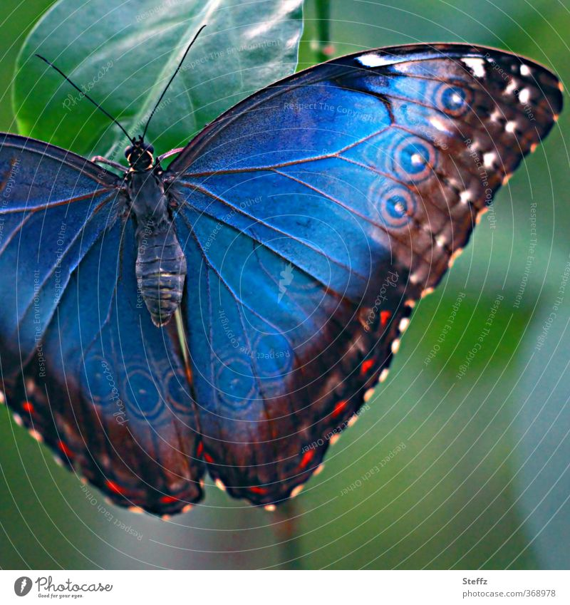 Blue Morphof age Nature Butterfly Wing blue Morphof age morphoid age blue butterfly Noble butterfly Browns eye stains Exotic Natural Beautiful Colour Symmetry