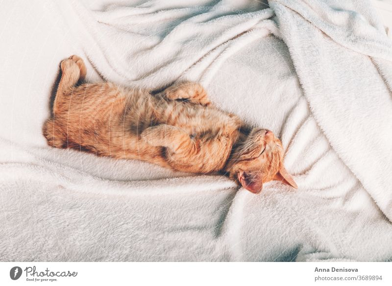 Cute ginger kitten sleeps cute cat relax on back blanket pet baby home cozy comfort resting fluffy sleeping kitty adorable child little animal warm comfortable