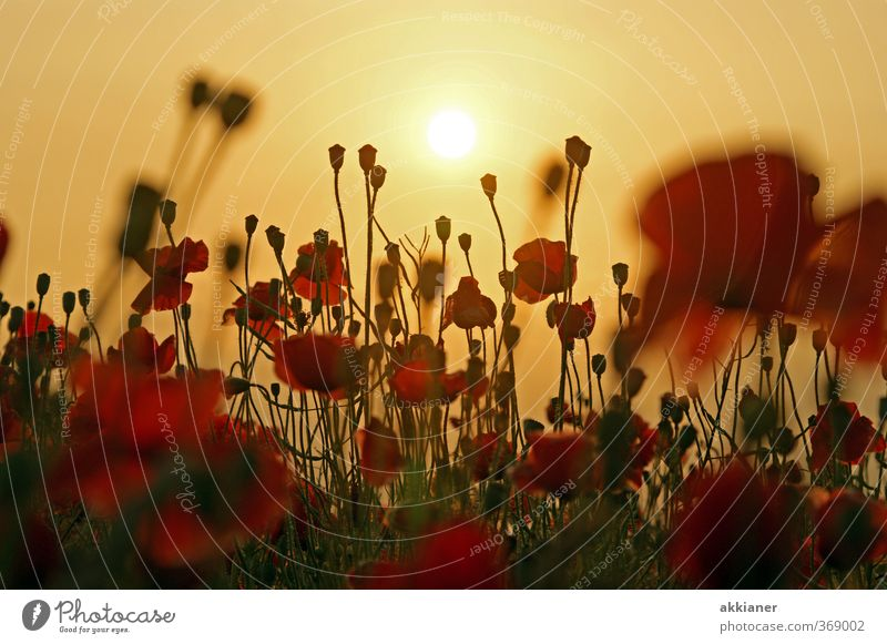 Sky Nature Summer Plant Sun Red Landscape Flower Environment Meadow Blossom Natural Park Field Cloudless sky Poppy