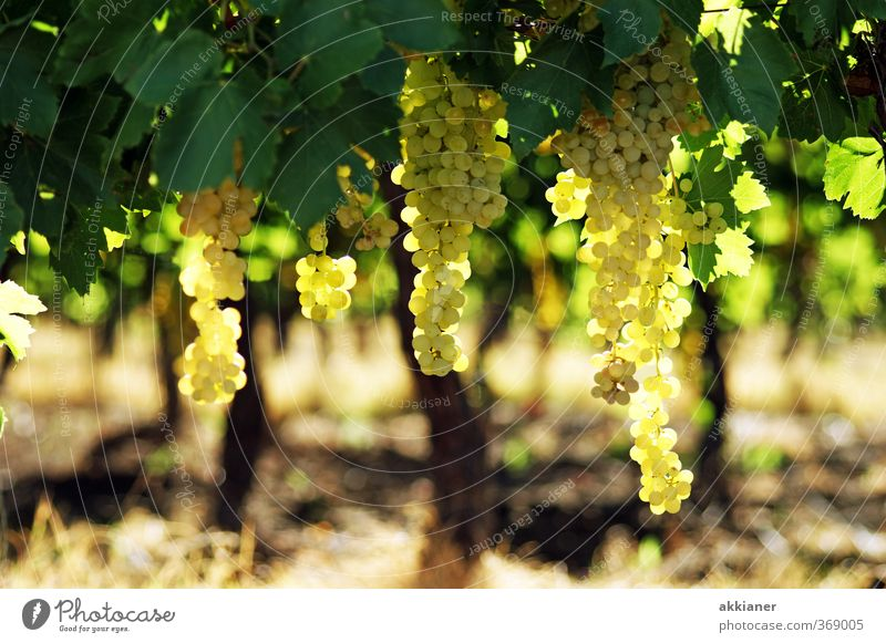 grapes Environment Nature Plant Summer Agricultural crop Field Bright Natural Green Vine Vineyard Bunch of grapes Colour photo Multicoloured Exterior shot