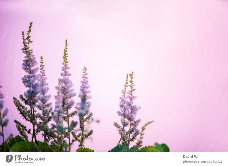 pink flowers against a pink background Pink Herbaceous plants bleed floral splendour spring Copy Space Copy Space top Neutral Background Placeholder already