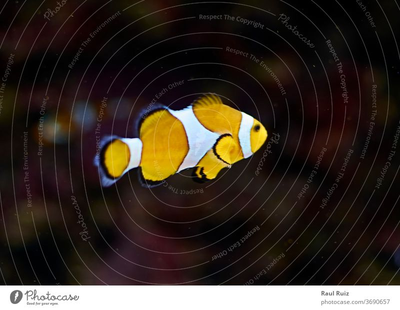 Clown fish swimming in the ocean clownish water attraction pool excursionist view submarine vacation tank leisure partition anemone look rose blue glasses see