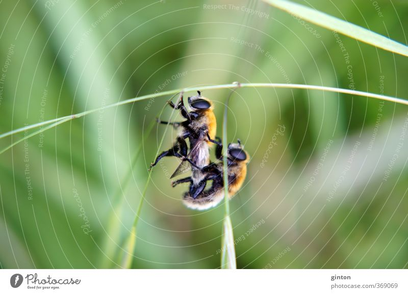 Copulating Hoverflies Animal Wild animal Fly 2 Pair of animals Hang Love Make To swing Athletic Near Brown Green Orange Black Sex Sexuality Colour photo