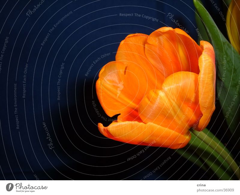 Green Blue Blossom Orange Tulip