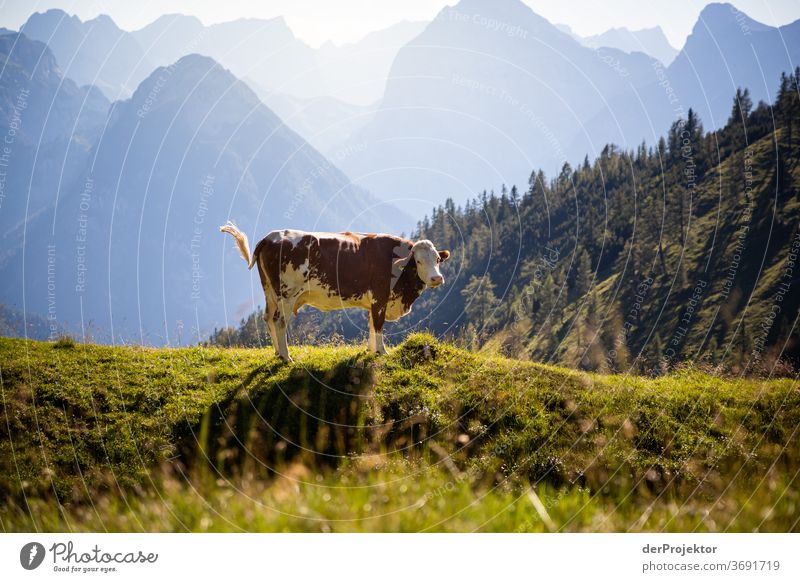 Portrait of a cow at the Achensee Agriculture Cattle chill Forest Nature Nature reserve Effort Environment Brave Beginning Mountain Hiking Colour photo