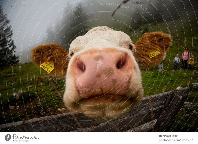Distanceless cow at the Achensee Agriculture Cattle chill Forest Nature Nature reserve Effort Environment Brave Beginning Mountain Hiking Colour photo