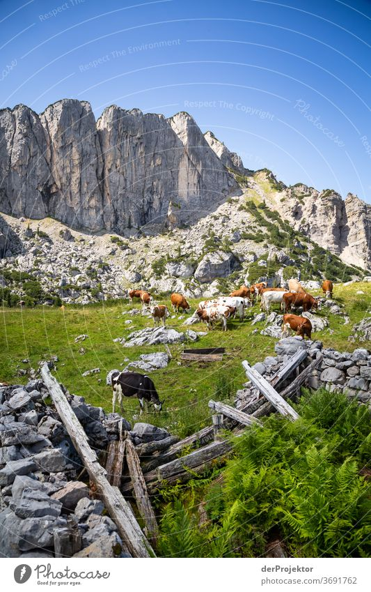 Cow herd in ruins at the Achensee Agriculture Cattle chill Forest Nature Nature reserve Effort Environment Brave Beginning Mountain Hiking Colour photo