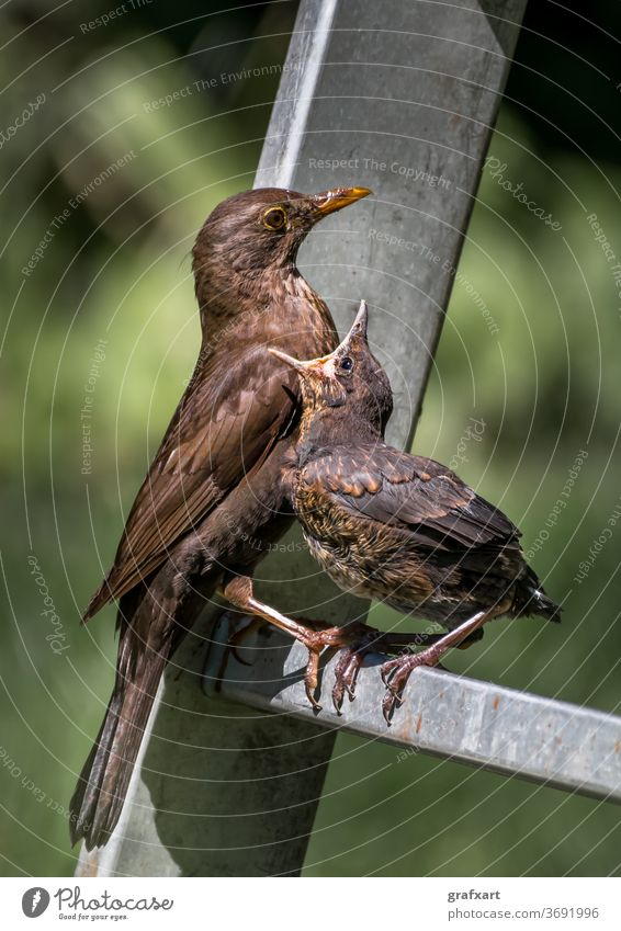 Young blackbird sits on a ladder and is fed with insects by its mother Animal Baby Beak biodiversity Blackbird European Diet Eating emotion Environment