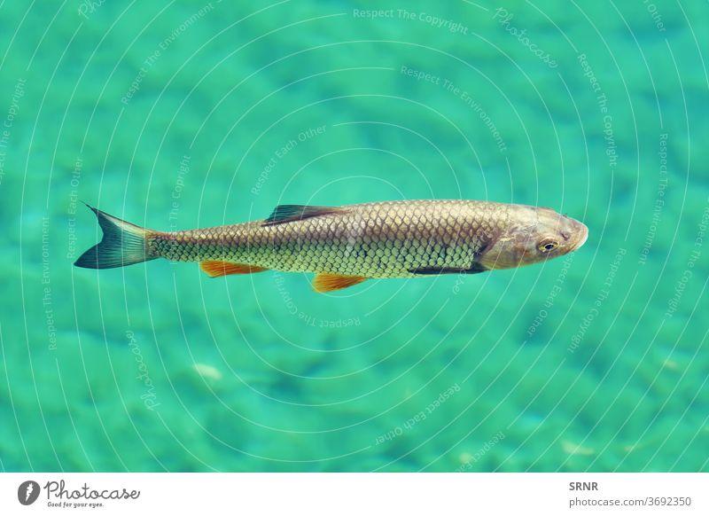 European Chub (Squalius Cephalus) in one of the Plitvice Lakes Fish fauna animals freshwater fish in water Underwater photo chub european chub squalius cephalus