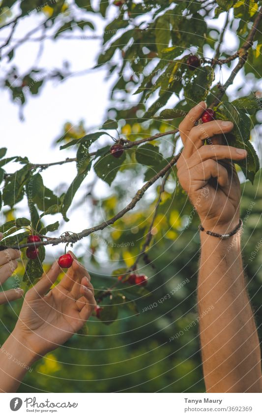 Harvesting cherries in the sunlight Cherry Summer Red Nature Fresh Fruit Garden Delicious Juicy Exterior shot Organic Mature Colour photo Seasons Green food