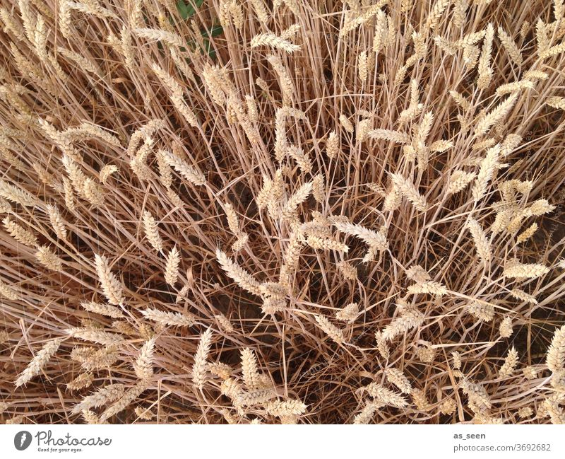 Grain field from above Barley Rye Bird's-eye view Field Agriculture Wheat Cornfield Nature Summer Wheatfield Nutrition Agricultural crop Plant Environment grain