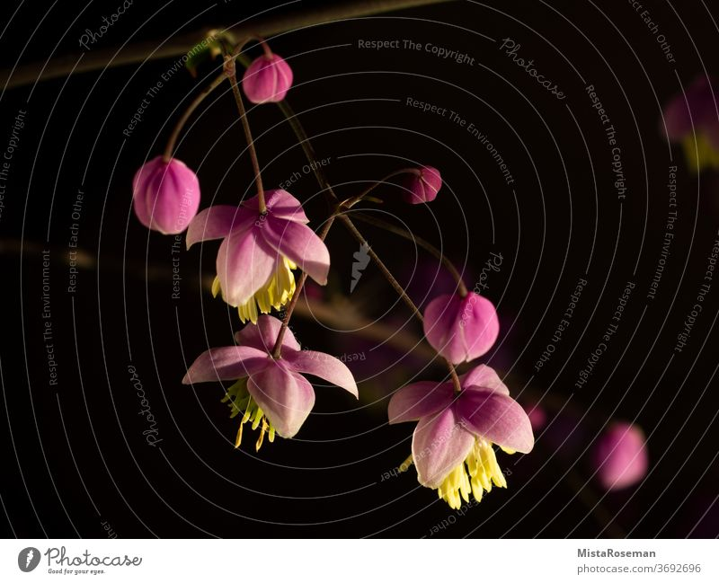 soft pink flower of the Chinese meadow-rue flowers Plant bleed Pink Stamen macro Garden Balcony