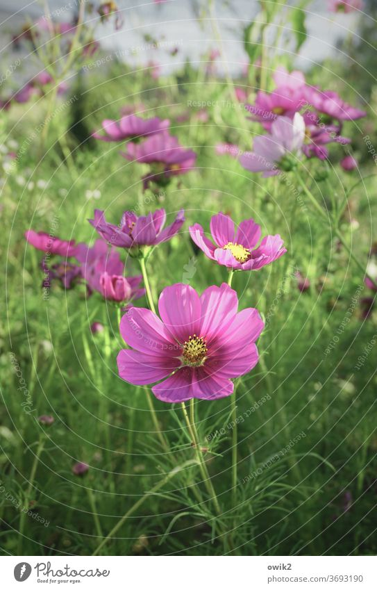 The usual Cosmea bleed Deserted Sunlight already Joie de vivre (Vitality) Colour photo Exterior shot Optimism Growth Blossoming Garden Environment Nature Plant