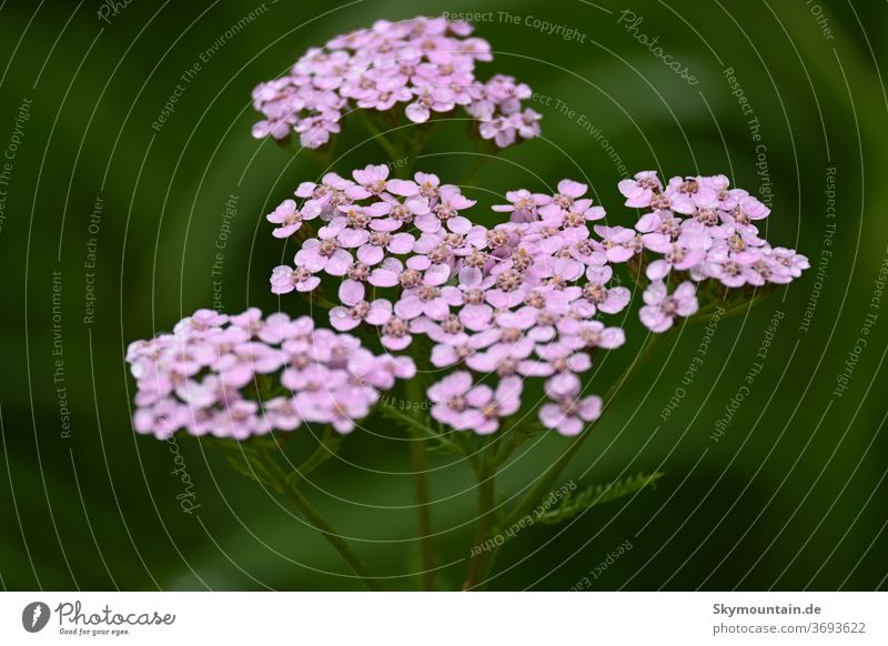 Yarrow in pink is your colour Nature Environment plants flowers wild flowers Medicinal herbs herbaceous Medicinal plant