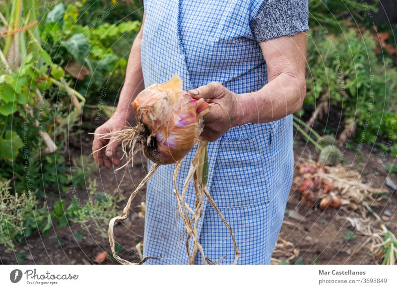 Woman with a freshly picked onion. Agricultural concept. vegetable harvest garden land ingredients woman agriculture farmer person show onion harvest dirty food