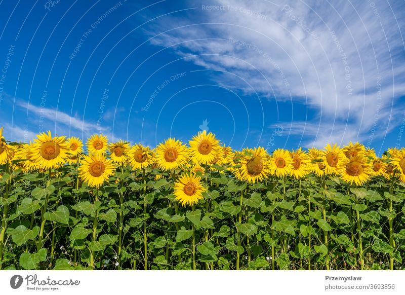 Sunflowers on the field in sunny day sunflower landscape agriculture nature plant beautiful sky clouds outdoors petal yellow horizontal light bright colorful