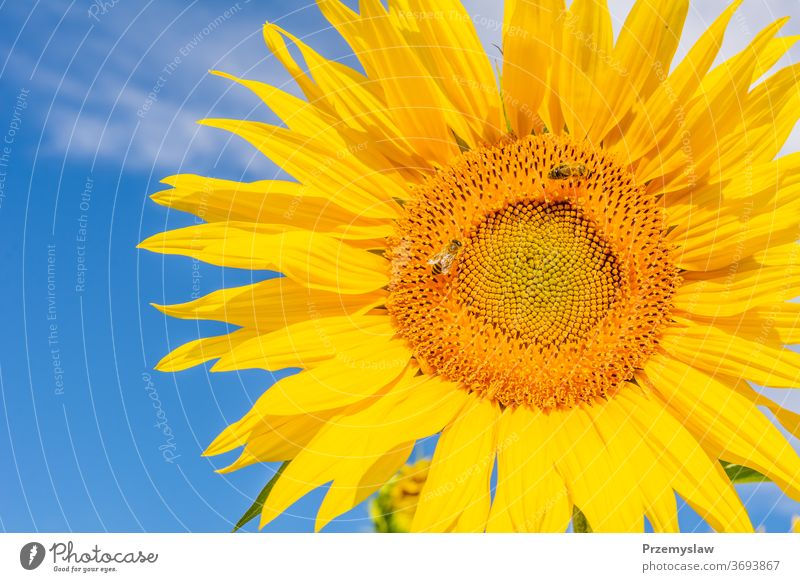 Beautiful sunflower on the sky background nature plant beautiful flora petal bloom blossom yellow horizontal day light bright colorful summer outdoors