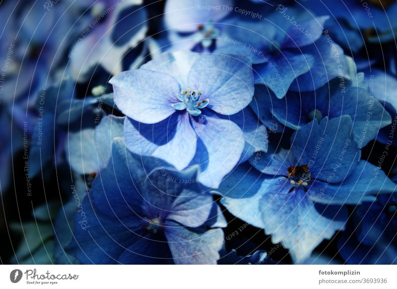 Close up of a blue hydrangea flower Hydrangea blossom bleed Garden plants Blossom leave Blossoming flowers Macro (Extreme close-up) Detail Plant
