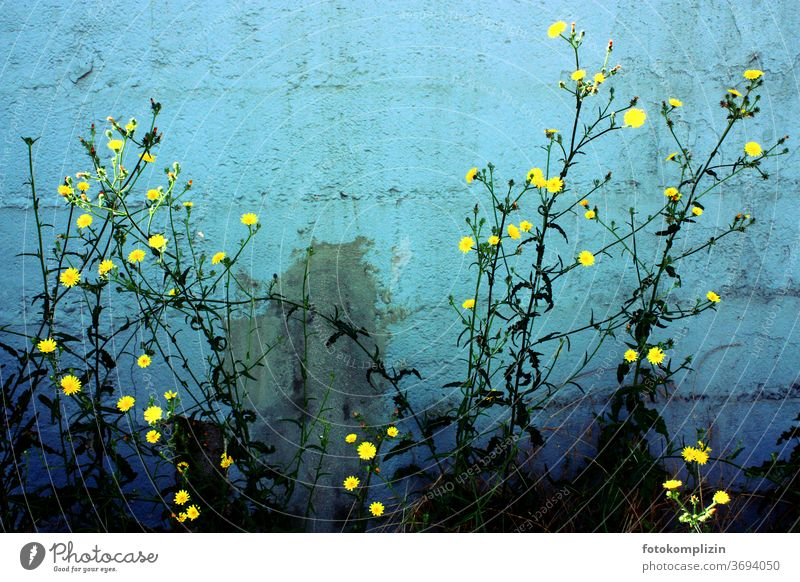 Plant with small bright yellow flowers in front of blue-green turquoise painted wall bleed Blossoming Love of nature Garden plants Summerflower luminescent