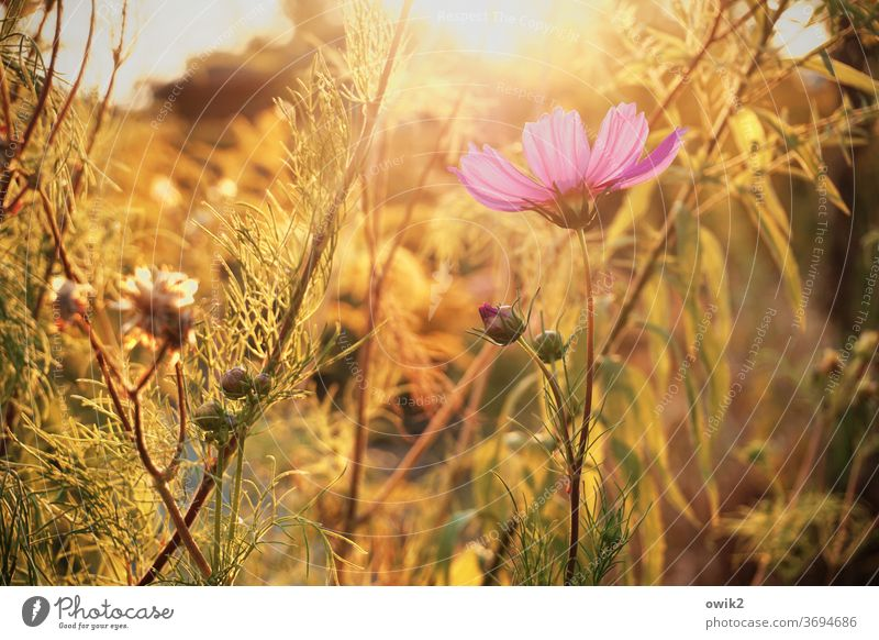Flowers in the light Environment Nature Plant Sunlight Exterior shot Cosmos Deserted Colour photo Blossoming Idyll bleed Beautiful weather Summer Copy Space top