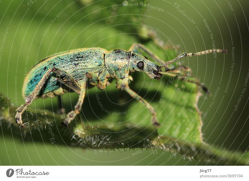 bug Beetle Nature Insect Animal Close-up Macro (Extreme close-up) Colour photo Animal portrait Crawl