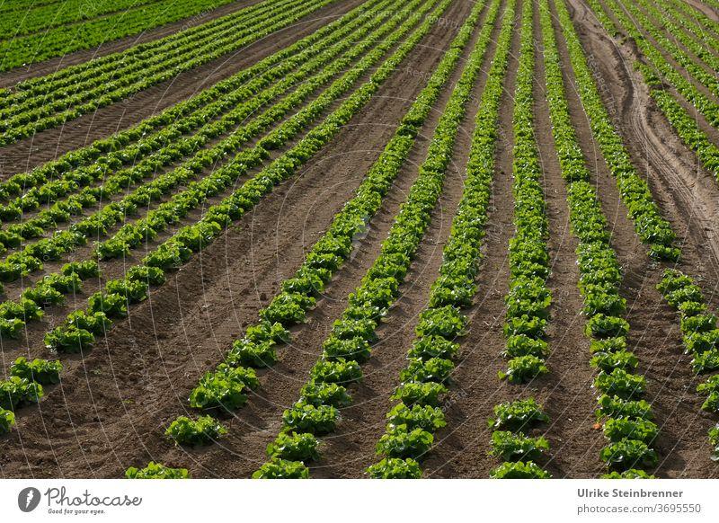 Field with long rows of lettuce acre Lettuce Cut lettuce lollo bionda Lollo bianco salad Lollo green series Direct lines furrows extension Agriculture Green