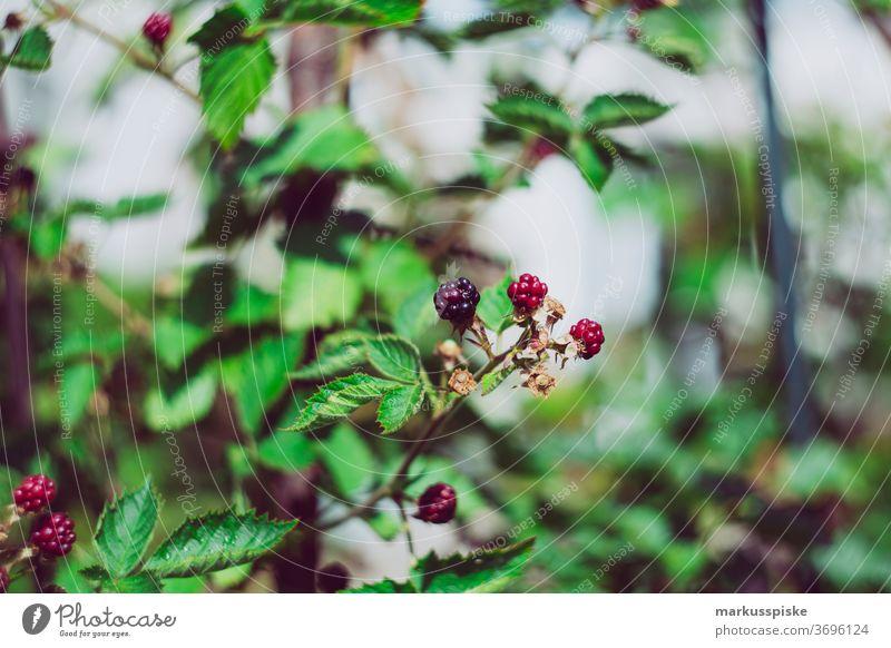 Fresh bio harvest home garden blackberries agriculture Bio bloom breed breeding childhood conservatory controlled farming crop cultivation food
