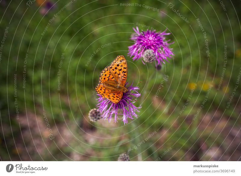 Butterfly at purple flower beautiful beauty blaze of color bloom blossom bokeh bright brown bunch closeup colorful colors colour countryside fantasy flora