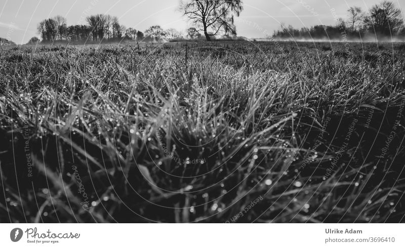 Morning dew in the Teufelsmoor - dew drops in the grass with morning mist in the background Black & white photo Nature Landscape Meadow Environment Fog Plant
