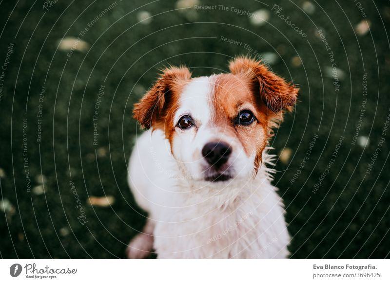 portrait of cute jack russell dog smiling outdoors sitting on the grass, summer time waiting purebred small lifestyle lawn jack russel terrier space brown