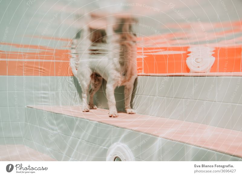 underwater view of dog in the pool, fun and lifestyle at summer swimming pet jack russell swimming pool fitness family deep portrait poolside puppy instructing