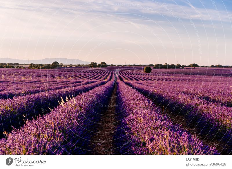 Beautiful field of blooming lavender during sunset in Brihuega, Guadalajara province, Spain. nature flowers agriculture purple summer colorful travel no people