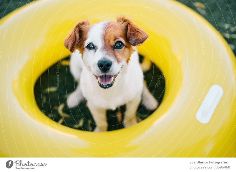 portrait of cute jack russell dog smiling outdoors sitting on the grass, summer time yellow donuts inflatable waiting purebred small lifestyle lawn