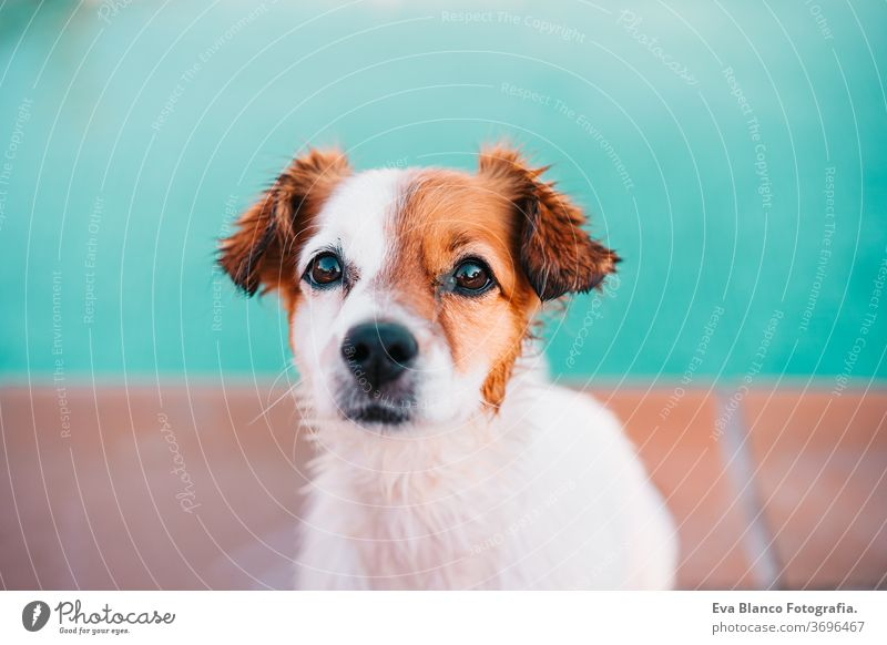 portrait of cute jack russell dog smiling outdoors sitting by the pool, summer time swimming pool pet fitness family deep poolside puppy instructing activity