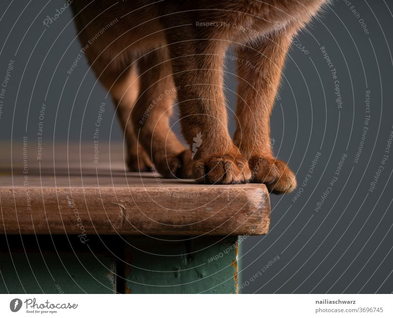 velvet paws Cat Legs Pelt Red Brown Parts of body Table Stand standing Cute Domestic cat Animal Studio lighting Studio shot Red-haired Abyssinian Abyssinian cat